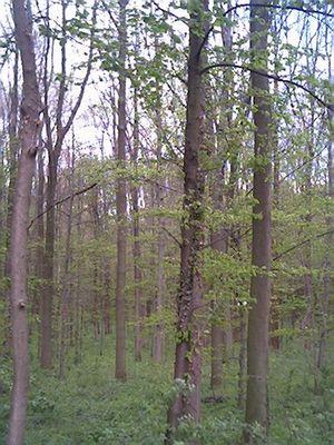 Der grüne Wald