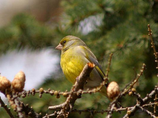 Der Grünfink