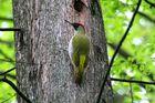 Der Grünspecht : Vogel des Jahres 2014