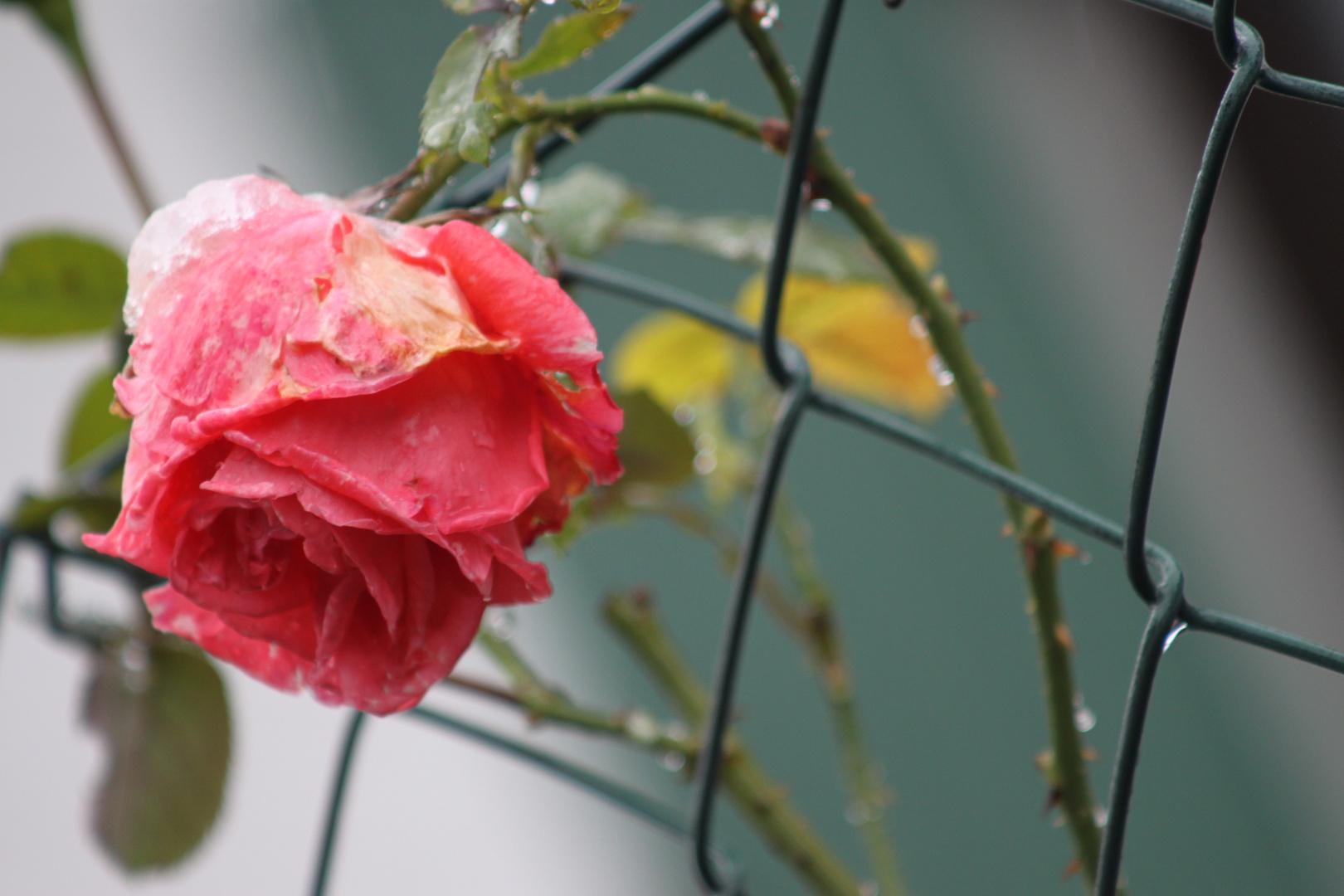 Der hägende rosenkopf :(
