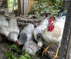 Der Hahn und seine Hühner