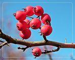Der Hahnensporn-Weißdorn trägt leckere Früchte