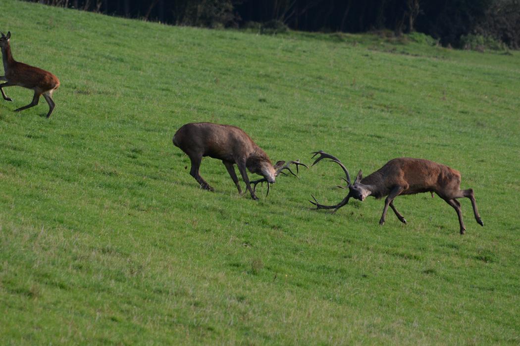 Der heftige Kampf lässt die beiden Hirsch den Kopf verdrehen