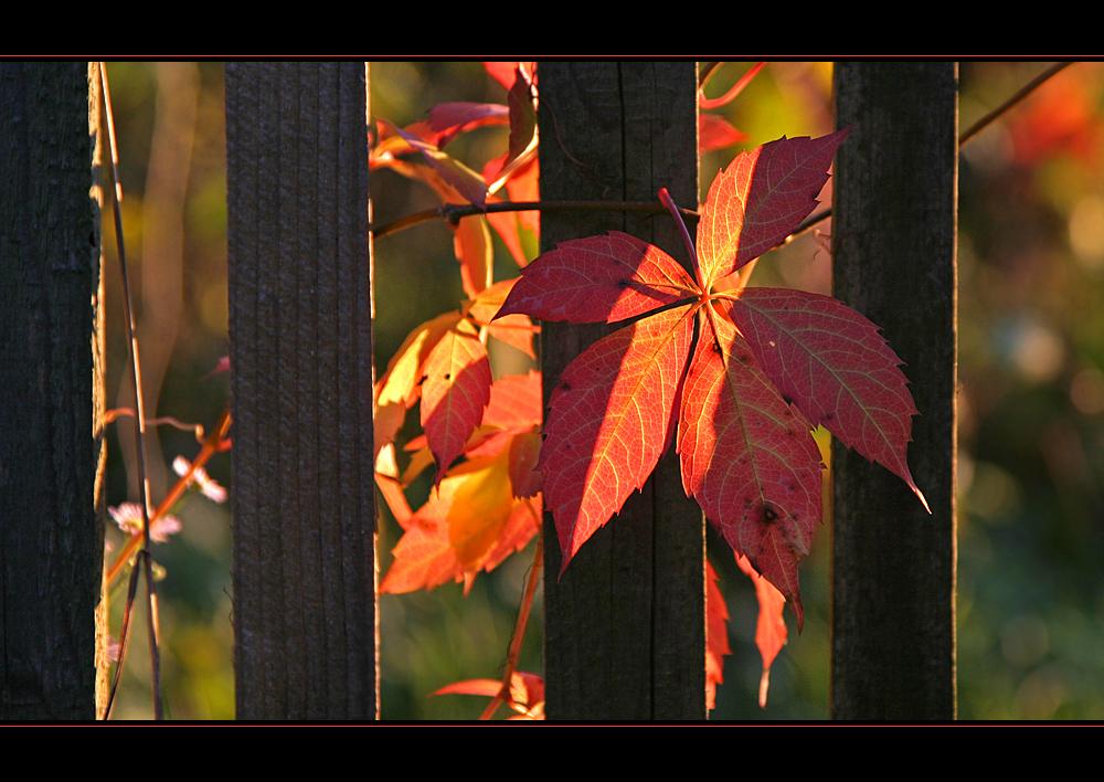 Der Herbst am Gartenzaun