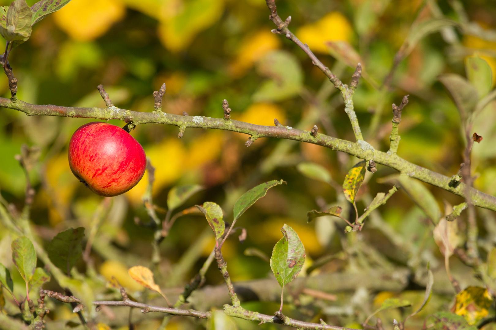 Der Herbst Apfel