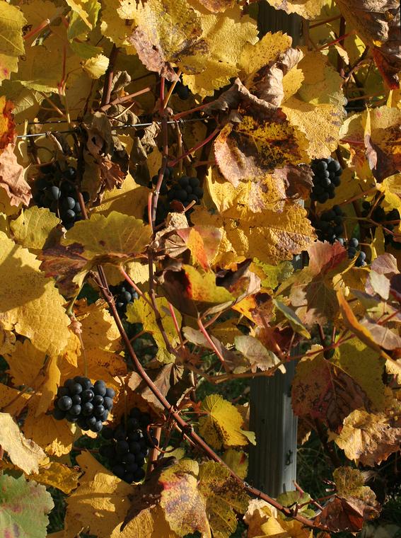 Der Herbst bringt die Trauben