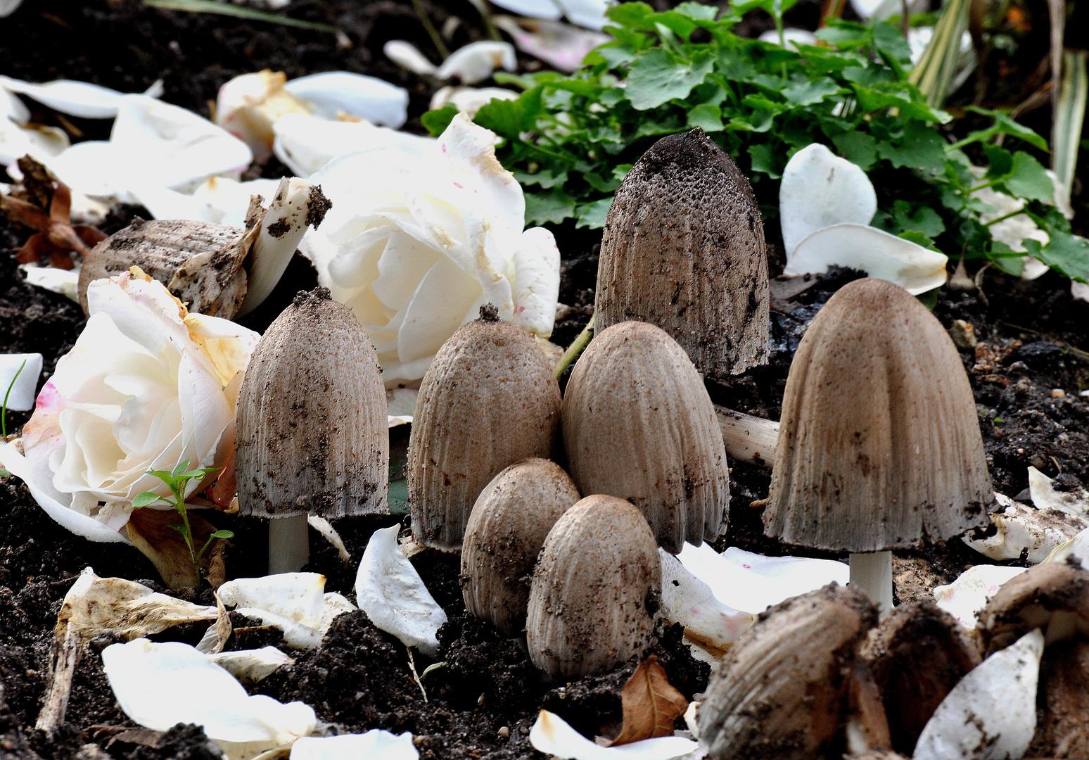 Der Herbst lässt Weisse Rosen regnen....