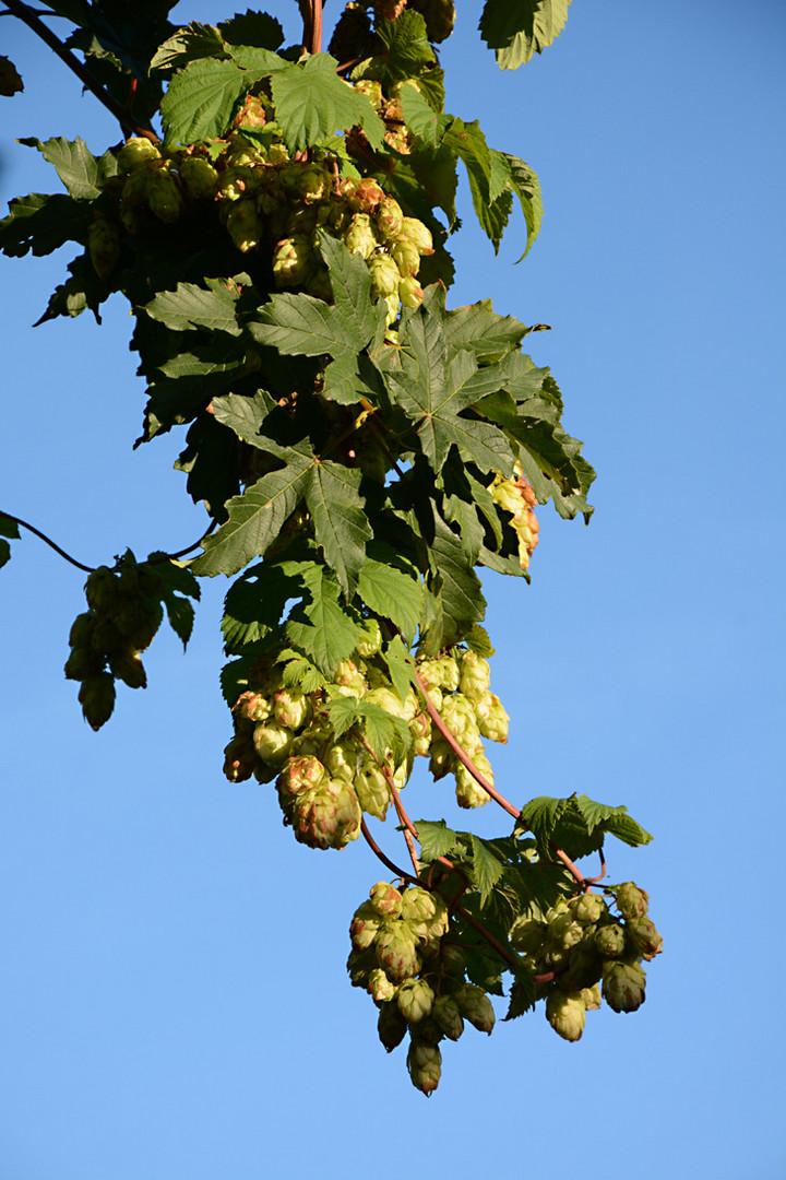 Der Herbst schenkt uns vielerlei Früchte II