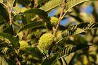 Der Herbst schenkt uns vielerlei Früchte IV
