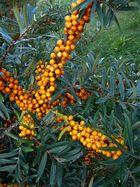 Der Herbst schenkt uns vielerlei Früchte VIII