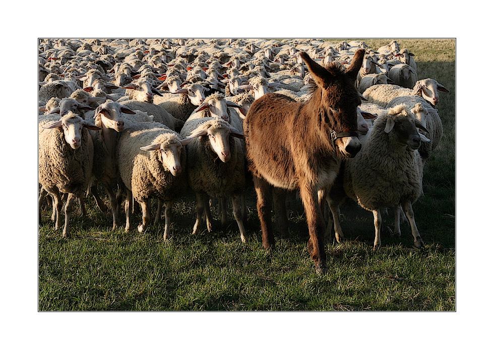 Der Herr der Schafe