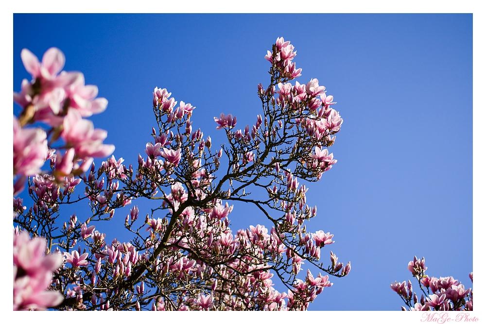 Der Himmel hängt voller Magnolienblüten
