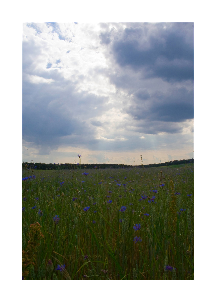 Der Himmel über dem Kornblumenfeld