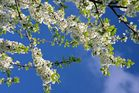 Der Himmel voller Blüten
