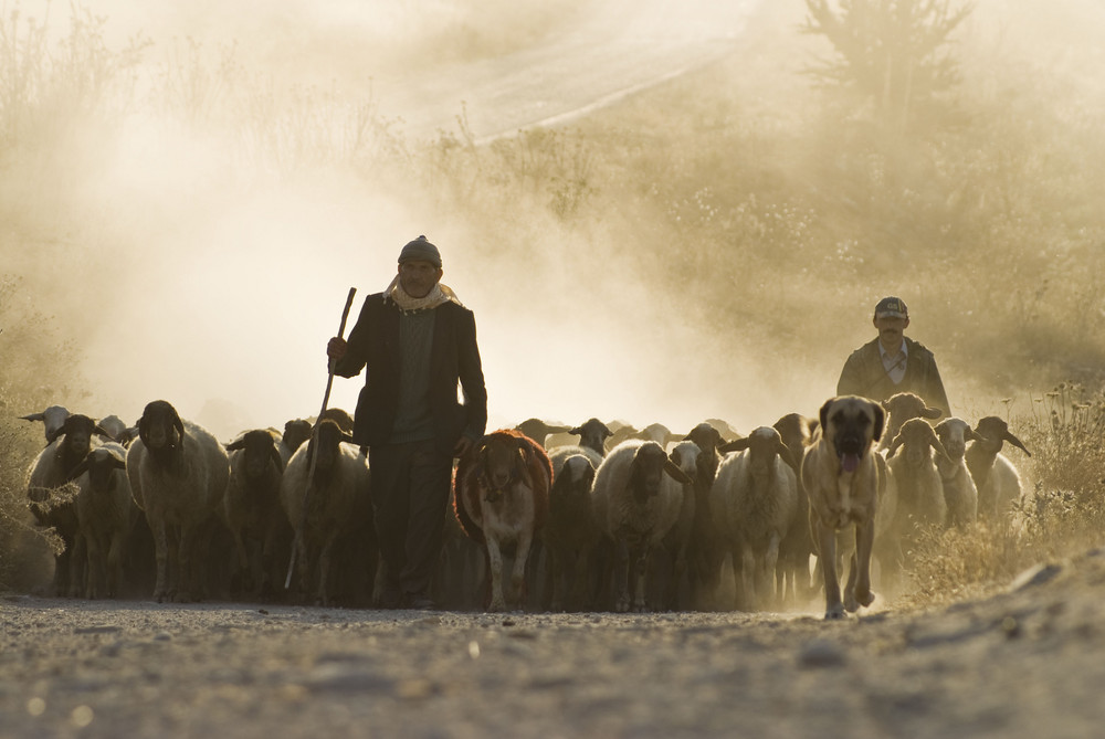 Der Hirte und die Herde Foto & Bild | europe, asian turkey, turkey ... | {Herde 52}