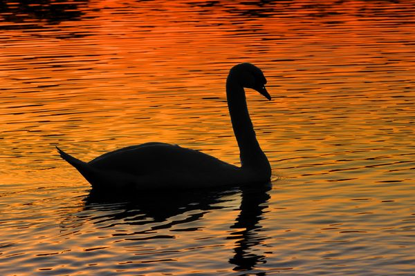 Der Höckerschwan im Sonnen untergang