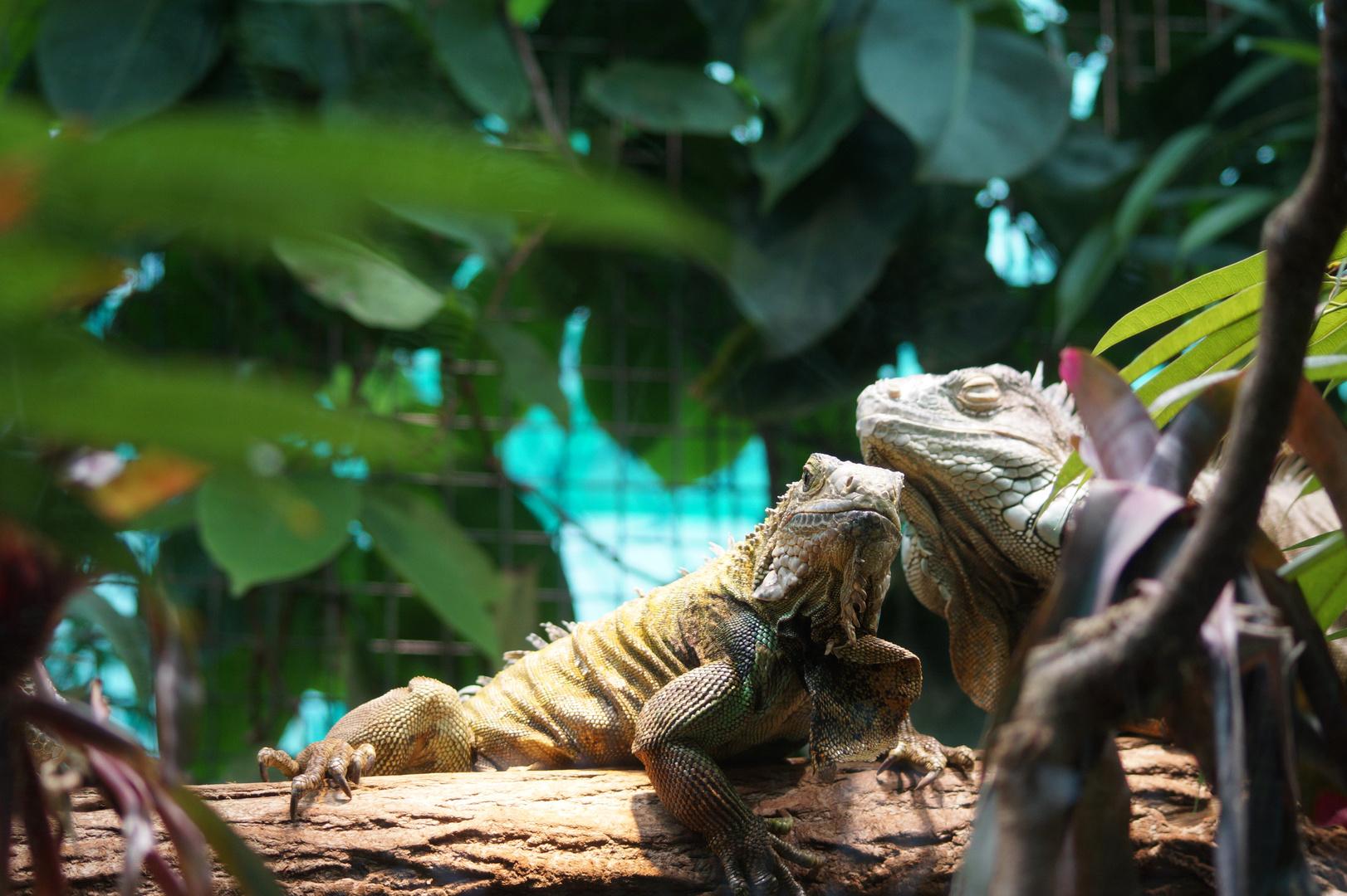 Der hohe Rat der Leguane, Zoo Zürich
