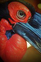Der Hornrabe aus dem Krefelder Zoo
