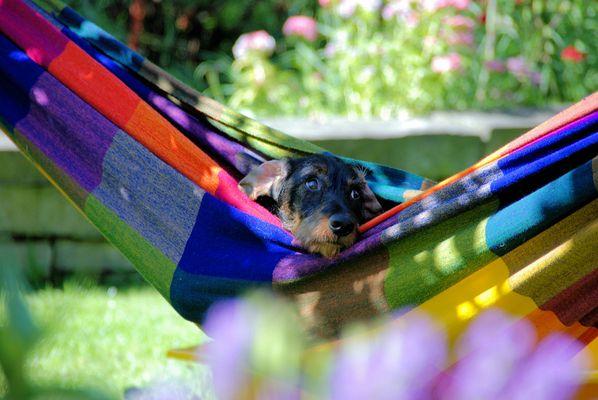 Der Hund in der Hängematte