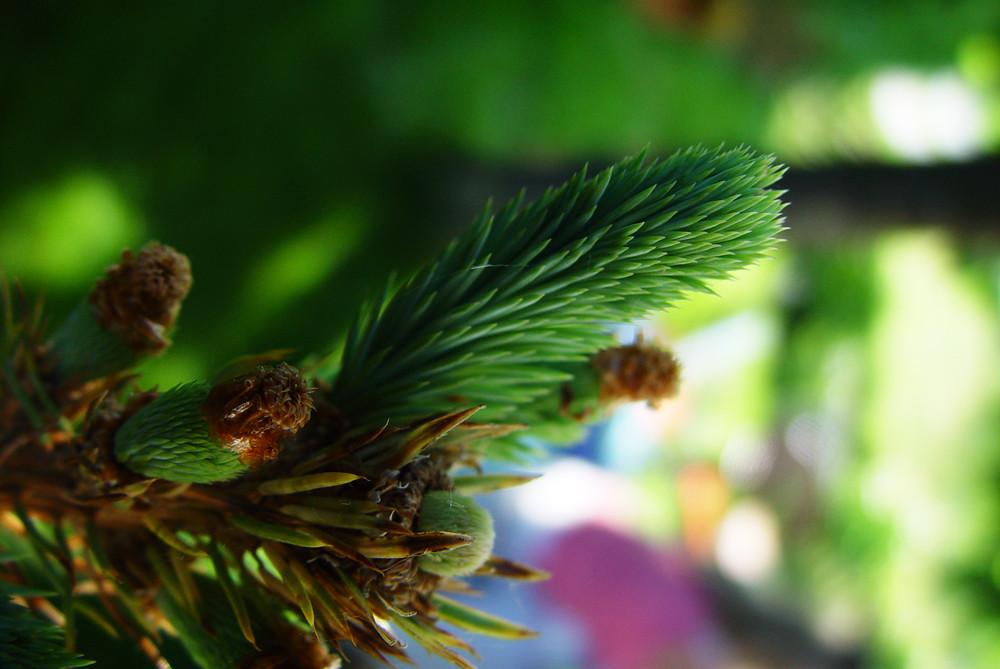 Der Junge Nadelbaum...