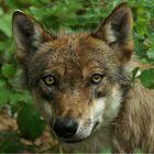 Der junge Wolf