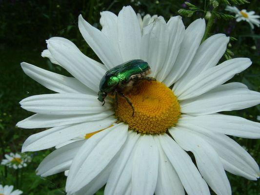 Der Käfer