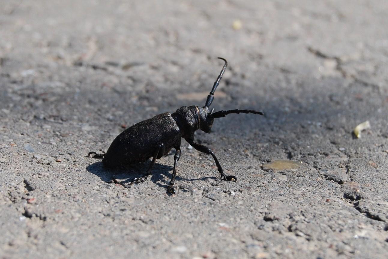 """- Der Käfer auf der """"Flucht """"-"""
