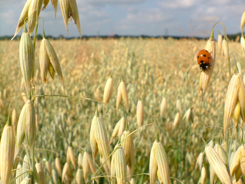 Der Käfer im Kornfeld