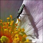 Der Käfer,der schneller frass, als sein Schatten