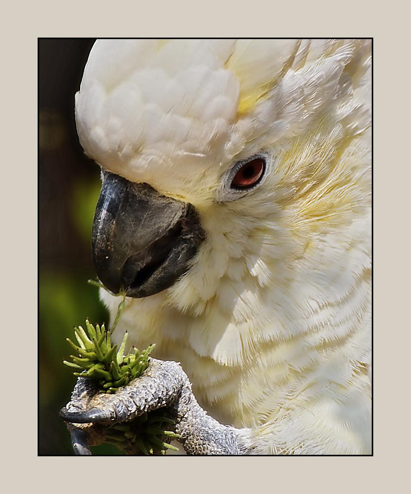 Der Kakadu....