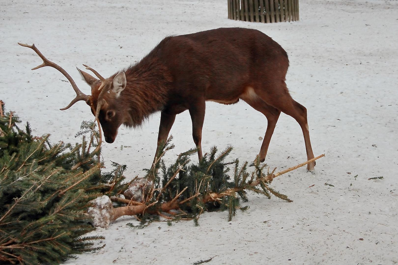 Der Kampf mit dem Weihnachtsbaum
