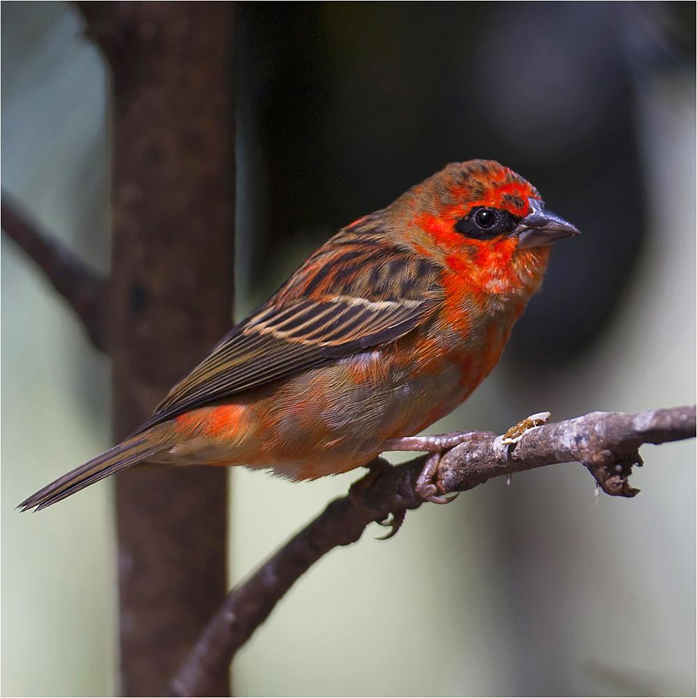 der kardinal…