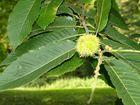 Der Kastanienbaum