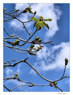 der Kastanienbaum erwacht......