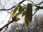 Der Kastanienbaum erwacht
