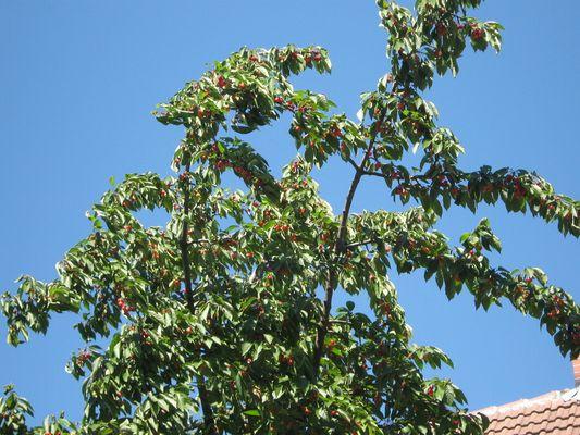 Der Kirschbaum