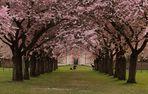 Der Kirschblütentunnel