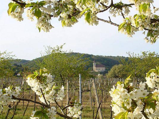der Kirschblütenweg in Donnerskirchen mit Blick auf die Kirche
