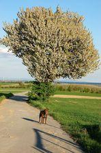 Der Kirschenbaum - in voller Größe