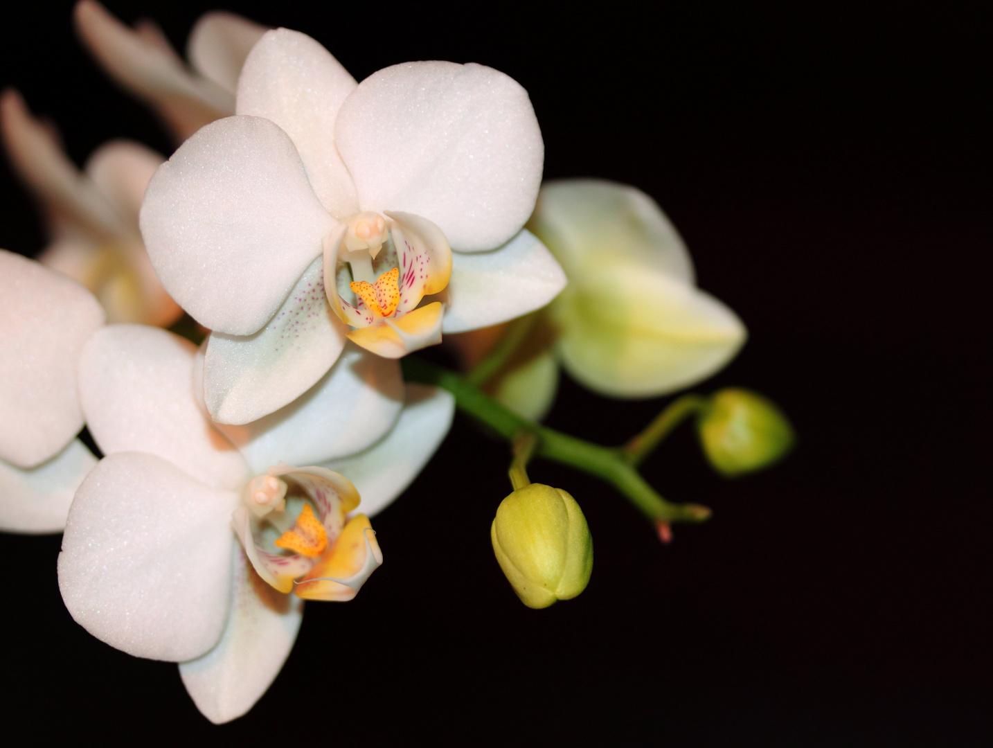der Klassiker - die Orchidee