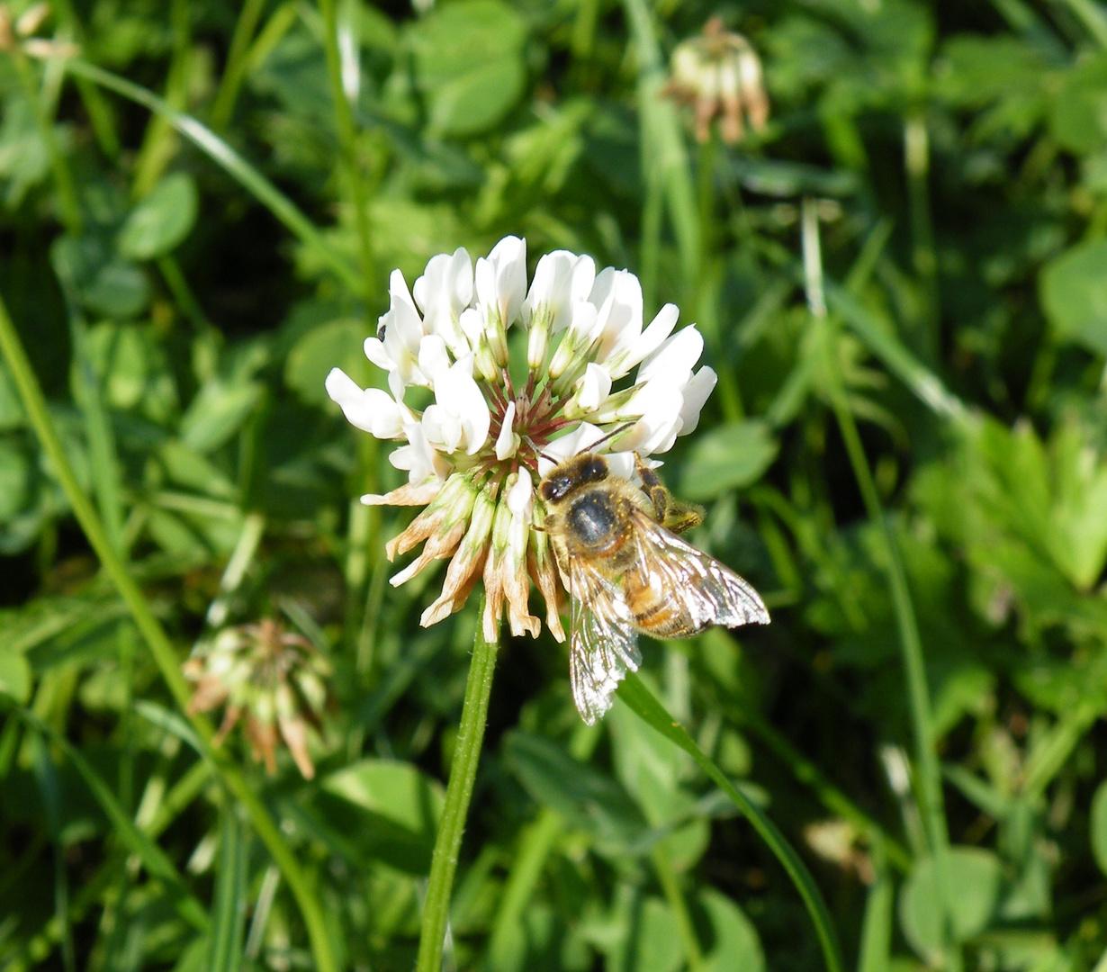Der Klee und die Biene