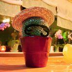 *der kleine, dicke mexikanische Kaktus
