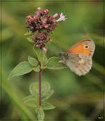 Der kleine Heufalter (Coenonympha pamphilus)...