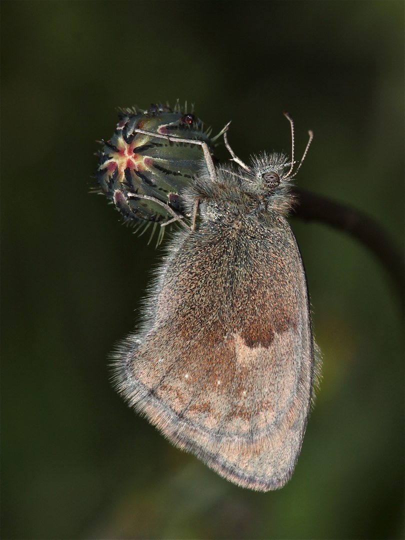 Der Kleine Heufalter (Coenonymphus pamphilus) schläft im Schatten