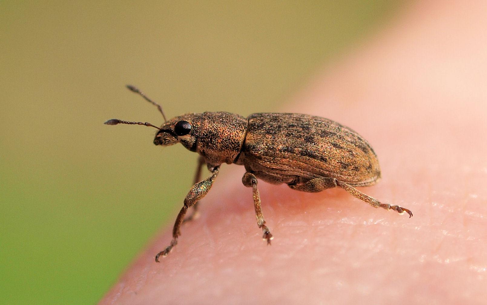 Der kleine Käfer....