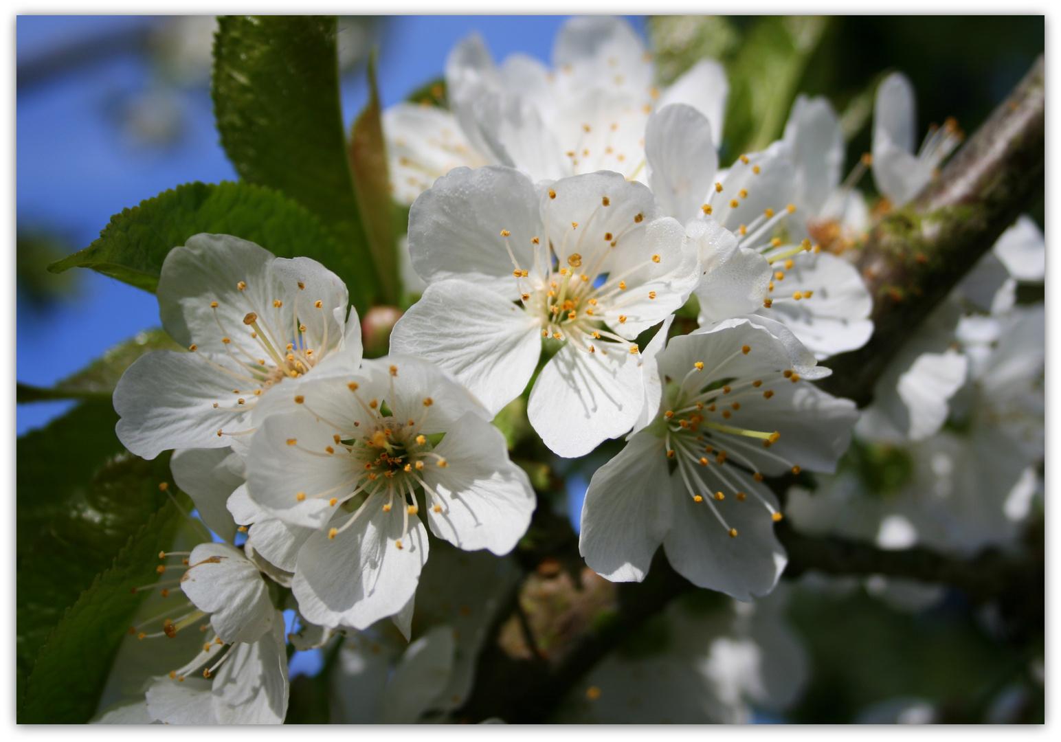 Der kleine Kirschbaum blüht
