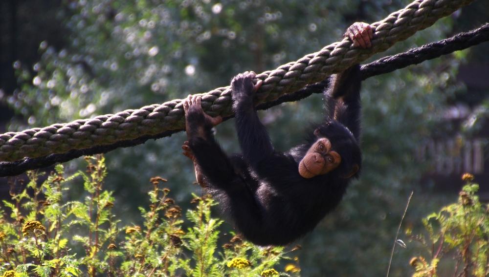 Der kleine Schimpanse war so übermütig...