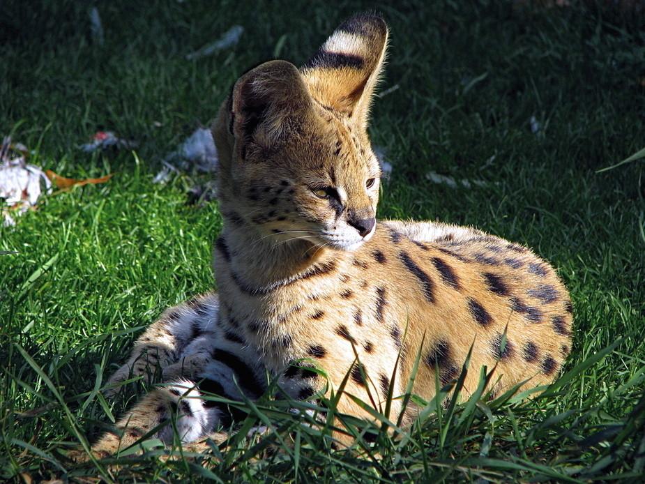 Der kleine Serval .....