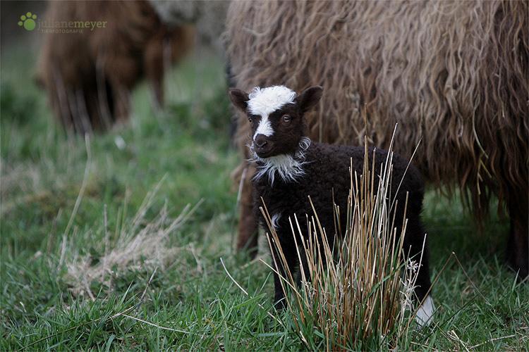 Der kleine Star der Herde