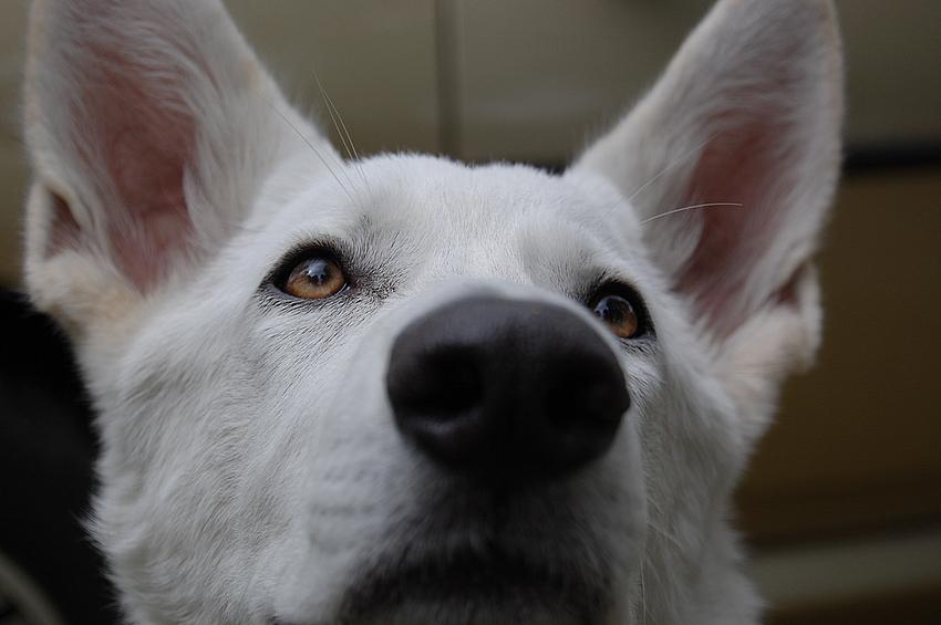 Der kleine Weisse Zeno